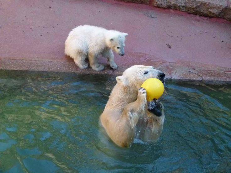 Eisbären im Rostock Zoo | Fiete und Eisbären Mutter Vilma im Rostocker Zoo – April 2015 (c) FRank Koebsch (2)