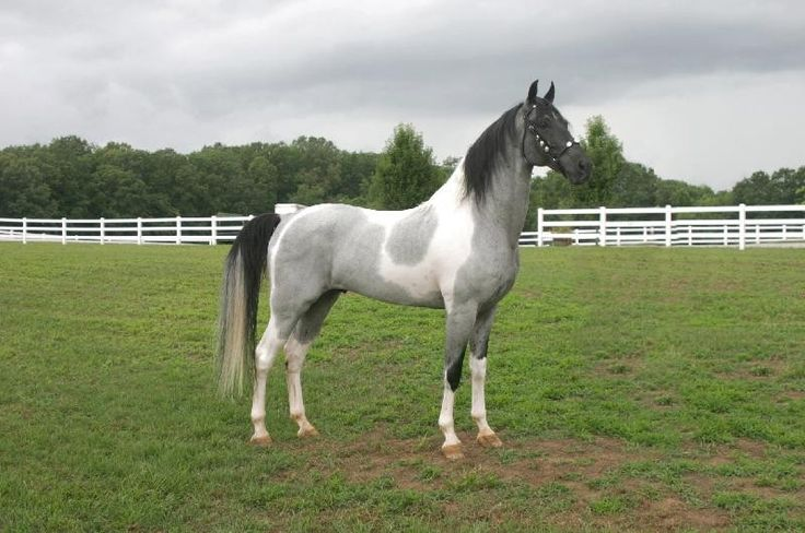 Stuntman's Star Of Magic, blue roan tobiano Tennessee Walking Horse stallion