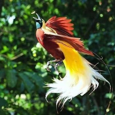 greater bird of paradise flying - Google Search