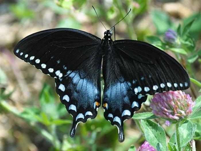 Mariposas  La Papilio troilus prefiere habitar en pantanos, estanques y zonas agricultoras. Por desgracia, esos lugares son afectados por el creciente uso de pesticidas y herbicidas que destruyen el hábitat natural.