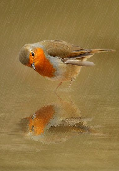 A bird in the rain who looks surprised at seeing another bird in the puddle