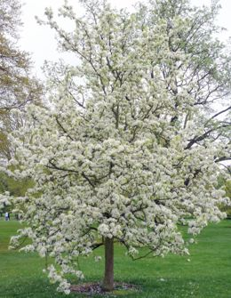 Pear 'Pyrus ussuriensis'