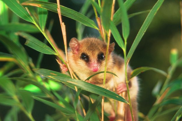 """Spanish for """"little mountain monkey,"""" the monito del monte (Dromiciops gliroides) is a diminutive marsupial notable for being the only extant member of the ancient taxonomic order Microbiotheria, as well as the only member of the superorder Australidelphia that is indigenous to the Americas. Which isn't to say that there aren't marsupials native to North and South America. Virginia opossums and their ilk are simply members of a different taxon: Ameridelphia."""