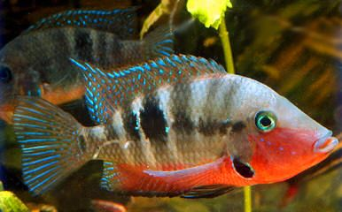 """Premium Firemouth Cichlid, 3.5"""" to 4"""" long"""