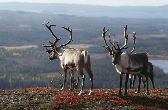 Reindeers in a beautiful landscape, Finnish Lapland
