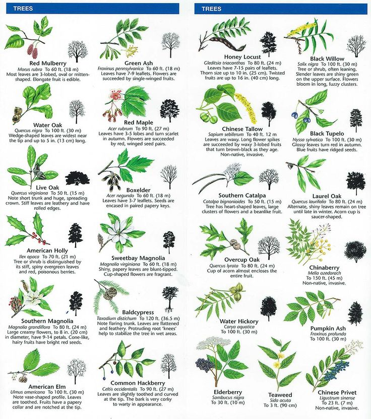 Species identification woodlands conservancy preschool for Garden trees types