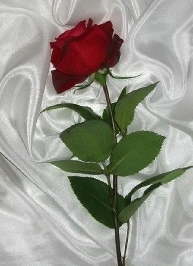 Pin By Shiner Dow On All You Need Is Love Beautiful Rose