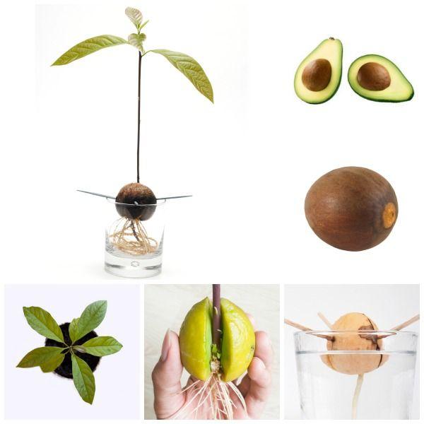 чего авокадо из косточки в картинках тмина уже протяжении