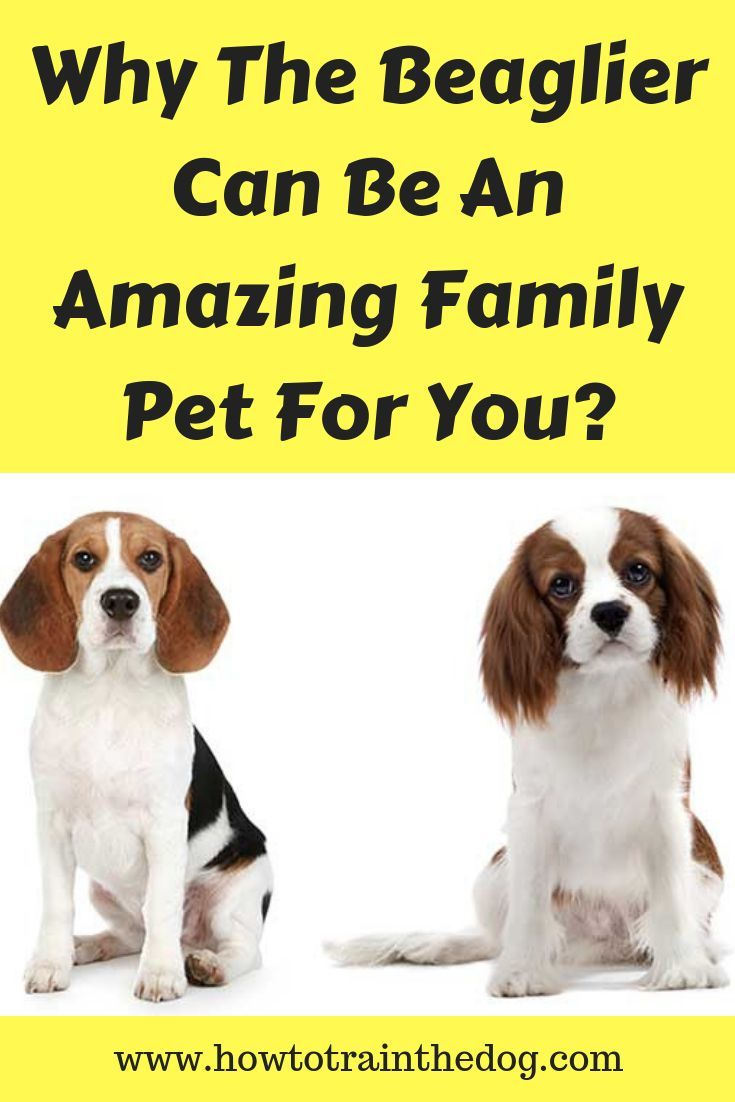 Why The Beaglier Can Be An Amazing Family Pet For You Friendly