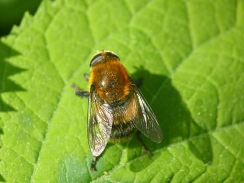 Hoverfly: Merodon equestris | Nature Notes from Dorset