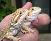 Bearded Dragon Care Sheet, Bearded Dragons, Bearded Dragon Breeder - Pogona Vitticeps, Bearded Dragon Care Sheet, SunshineDragons: A Breeder's Choice, Bearded Dragons for Sale, Sunshine Dragons breeds Chris Allen and Dragons By Nature's Core Colonies!