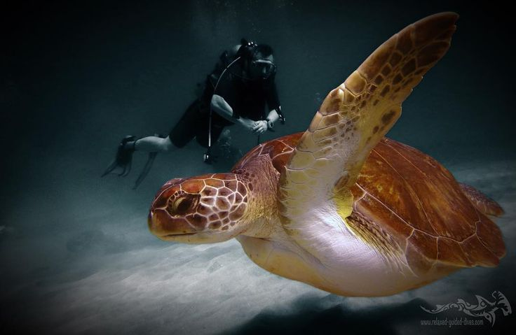 Green turtle flyby .. #tauchen #diving #duiken #fun #curacao #relaxedguideddives #scuba #scubadiving #travel #explore #cressi #oceanreef #padi