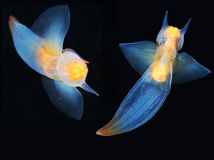 """The """"pteropod"""" Clione Limacina belongs to a group of marine gastropod mollusks that lack shells. Description from pinterest.com. I searched for this on bing.com/images"""