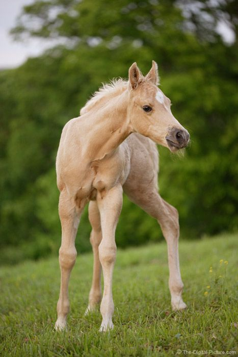 palamino foal