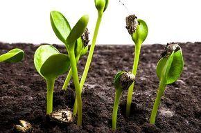 Выращивание рассады научным способом: предпосевная подготовка семян, посадка семян, подращивание сеянцев, пикировка в кассеты, пересадка и посадка и др. -
