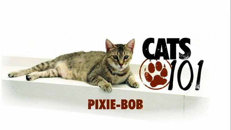 The Pixie Bob is one of the larger breeds of the domestic cat... weighing up to 18 pounds! It is thought to have been bred originally from a bobcat, hence to   Bob   in Pixie Bob!
