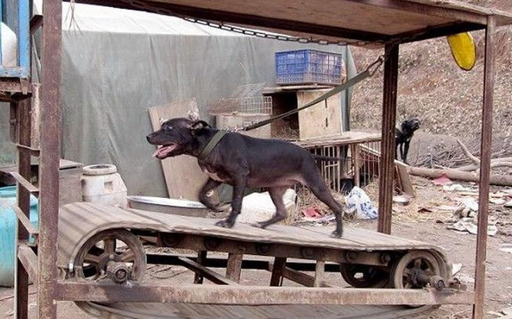 A dog was spotted going for an unusual walk in Shaoyang, southern China's Hunan Province - trotting along on a homemade treadmill. The dog happily jogged along on the mini assembly line - attached to a shelter erected over him by a lead. Passers-by guessed that the dog is too energetic and his owner decided this was the best way to let him have enough exercise to wear him out.
