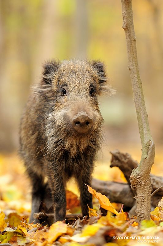 A Young Wild Boar.             (Photo By: Volodymyr Burdyak.)