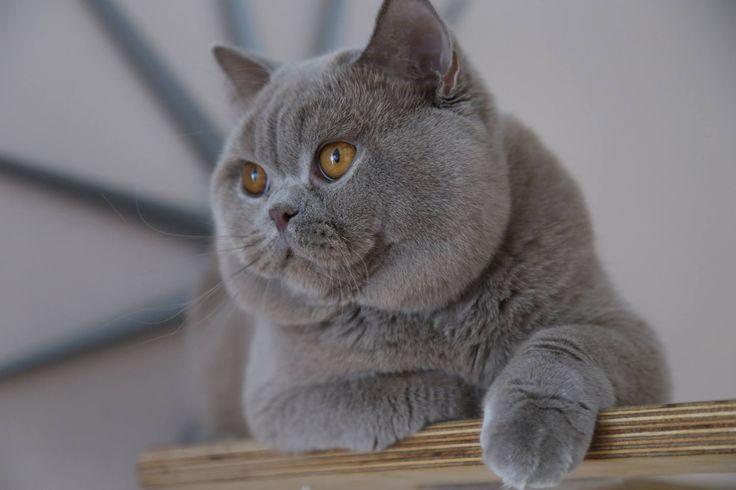 Britse korthaar kat