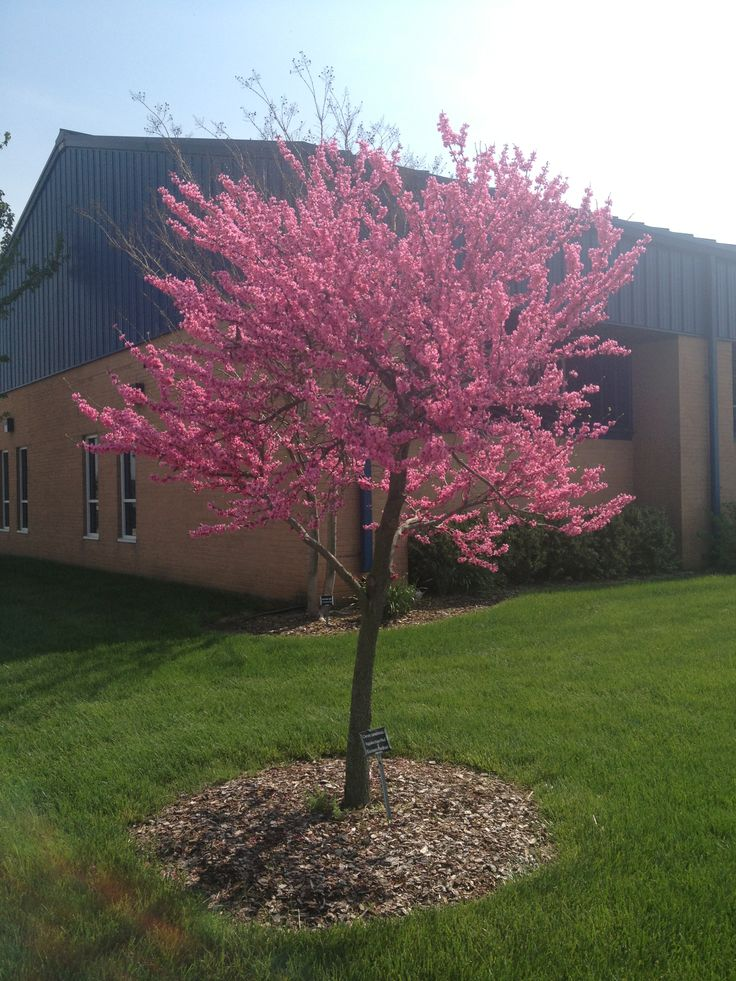 Appalachian Red Redbud (Cercis canadensis) Height: 20-25' Spread: similar Noted: brilliant fuchsia pink flowers in spring; a much brighter shade than the typical redbud; does well in sun to dappled shade and will adapt to any average garden soil