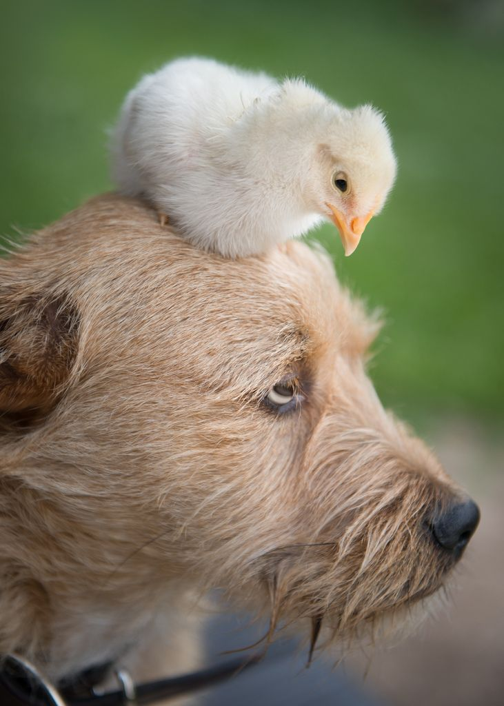 ~~Napoleon Complex | Baby Chick and Irish Terrier | by ShutterJack~~