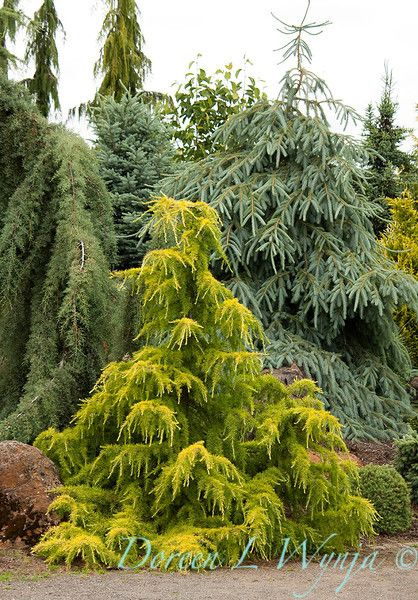 Dwarf Cedar Tree Varieties ~ Best cedrus deodara ideas on pinterest dwarf