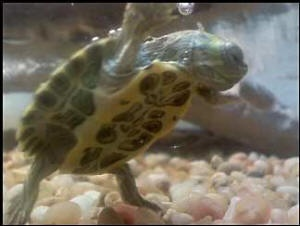 Can Red Eared Sliders Eat Cat Food