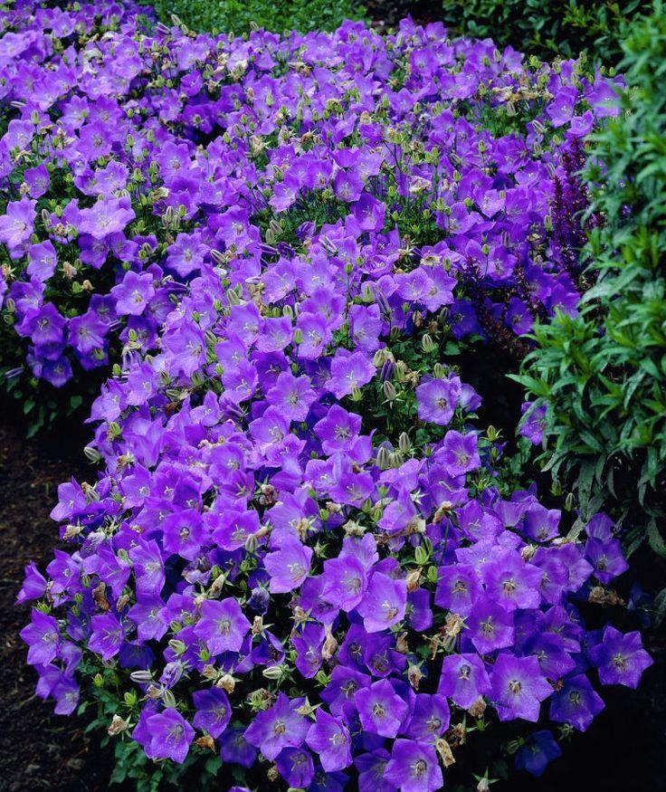 фото многолетнее растение Кампалула карпатская