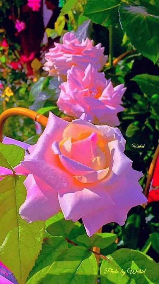 Rosas bicolores