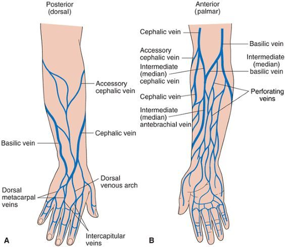 Arm Veins For Venipuncture   ... veins dorsal aspect of the hand b superficial veins forearm: