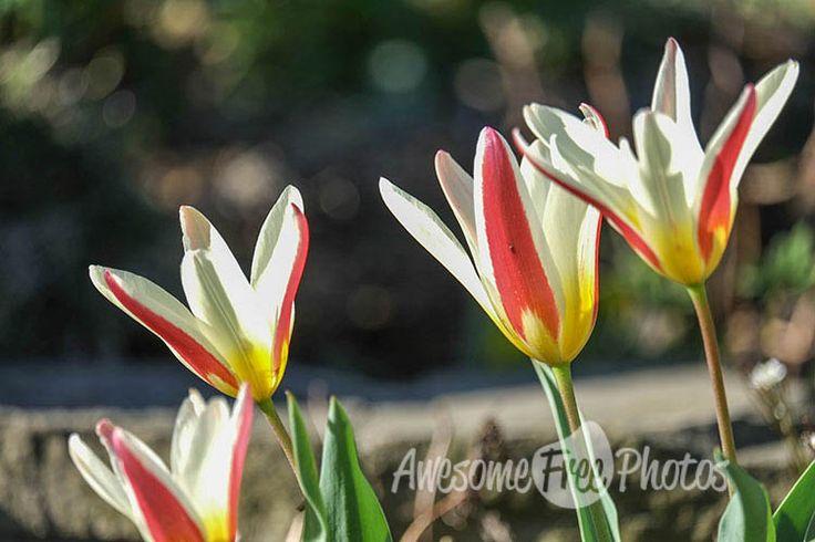 29-awesomefreephotos-nature-flowers-tulips-750