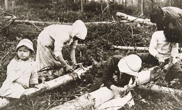 A family collecting pine bark to ground into flour for bread during the food shortage caused by the Finnish Civil war, Finland, 1918