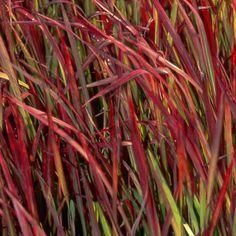 Imperata cylindrica 'Red Baron' - Plantes et Jardins