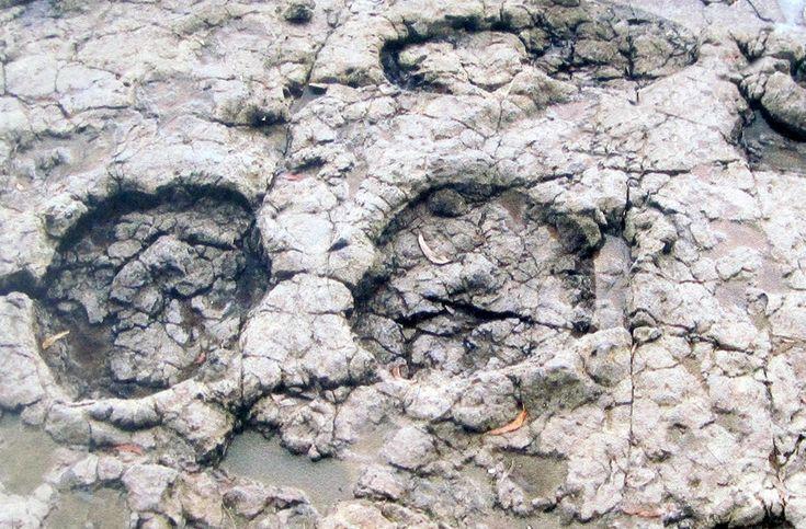 una de las mayores huellas dinosaurio del mundo. Playa de La Griega (Colunga)
