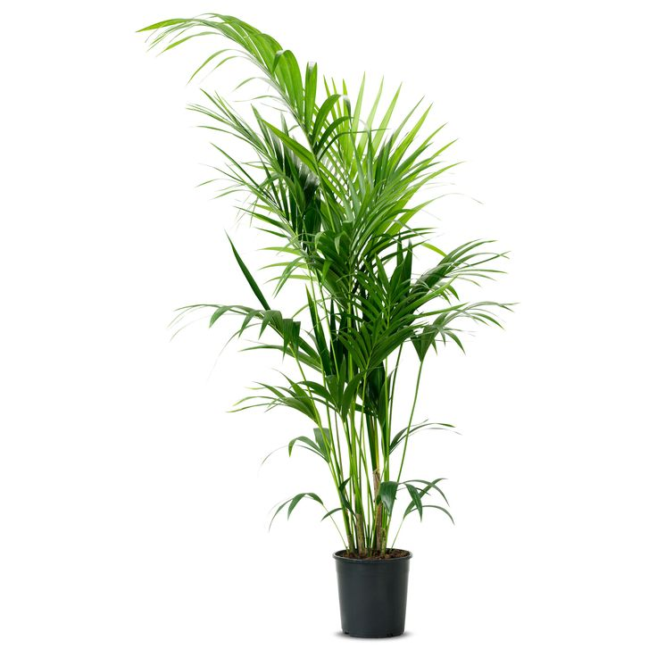 inspiration tall indoor house plants. HOWEA FORSTERIANA Potted plant  IKEA 19 best plants to buy images on Pinterest Colleges University