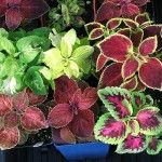 How to Propagate and Overwinter Annuals | Your Home And Garden Blog