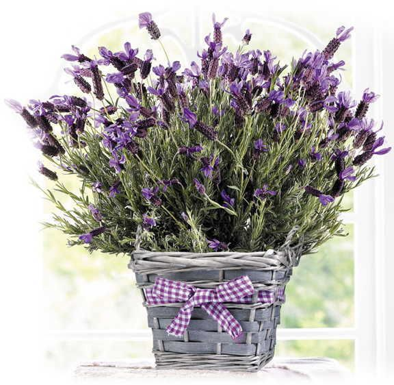 Sweet-scented Lavender in Market Basket - Accessories at Jackson and Perkins