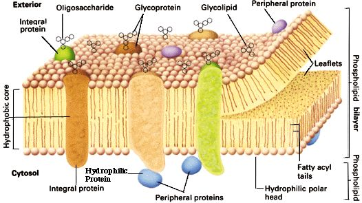 Plasma Membrane: the lipid composition of a membrane largely determines its physical characteristics, but its complement of proteins is primarily responsible for a membrane's functional properties; plasma membrane acts as a permeability barrier that prevents entry of unwanted materials from outside the cell and the exit of needed metabolites