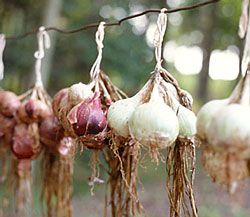 how to grow onions from onions that have sprouted