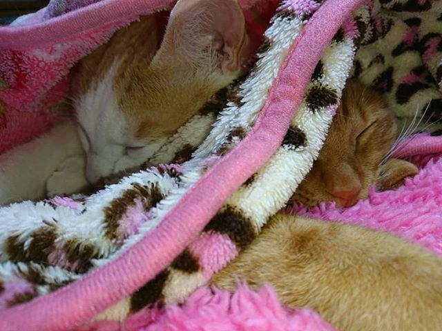 接待ご苦労様でした😄#猫 #ねこ #cat #gatto #gato #ねこ部  #猫バカ #にゃんこ #茶トラ #茶トラ白 #白茶 #redtabbyandwhite #redtabby #ペコねこ部 #愛猫 #ペット #pet #petstagram #catstagram #catsofinstagram #instacat #instapet#cats_of_instagram #ふわもこ部 #みんねこ #neko_magazine #ピクネコ #フェリシモ猫部#pecon#catstagram_japan