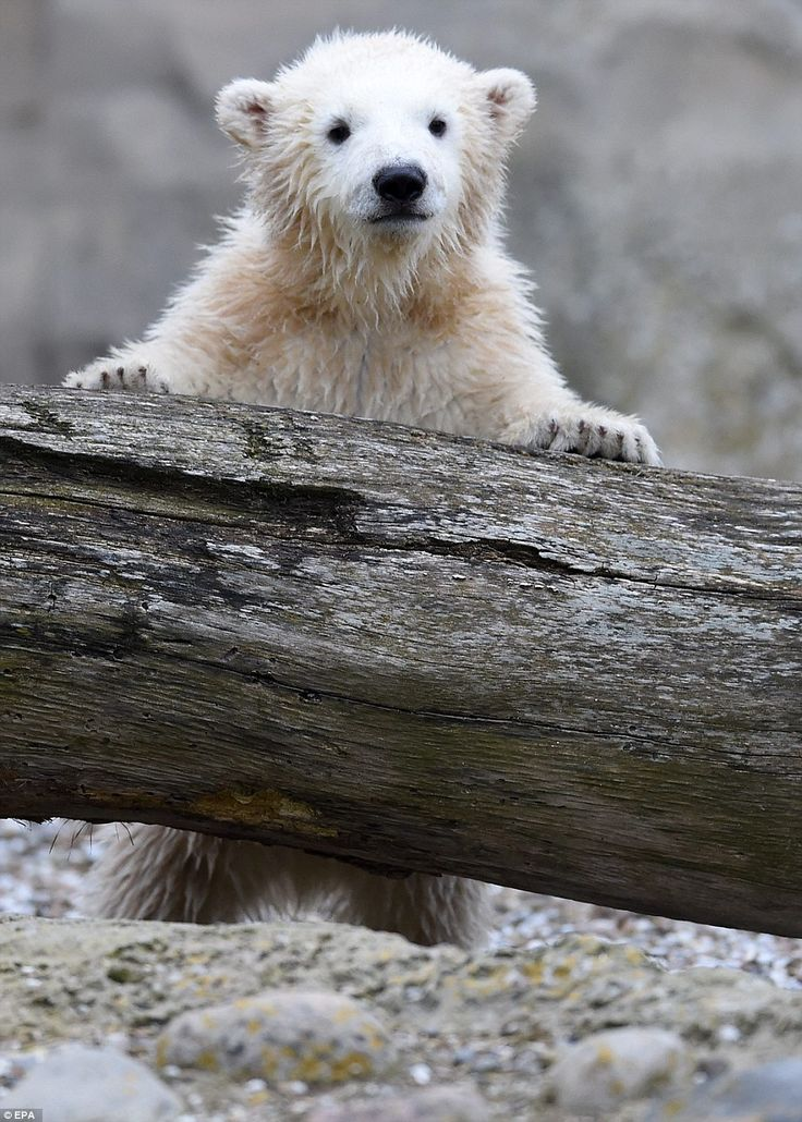 Polar bear cub Lili melts hearts as she makes her debut at Bremerhaven Zoo in Germany  | Daily Mail Online