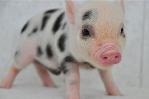 Pretty much obsessed with this made-for-your-home Pig breed: Juliana. They can easily be litter trained, too!