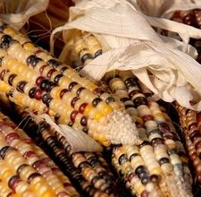 Anasazi sweet corn seeds are a variety that was discovered in a ceramic pot in a cave in New Mexico -- stashed there by an Anasazi Indian!