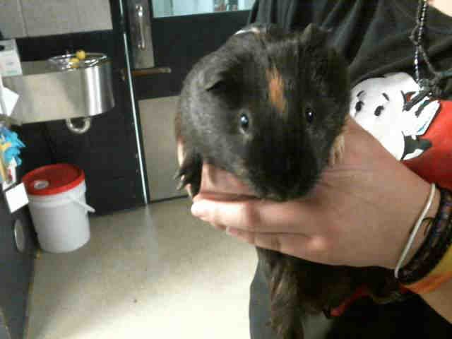 Twix ~ I can be identified by Animal Care & Control as A1090077.  I appear to be an unaltered male, black and brown Guinea pig.  The shelter staff think I am about 1 year and 1 month old and I weigh 2 pounds.  I was picked up in Charlotte.  I have been at the shelter since May 17, 2015.  I am available for adoption. Animal Care & Control, Charlotte-Mecklenburg Police Department  8315 Byrum Drive  Charlotte, NC 28202 Phone Number: (704) 336-3786