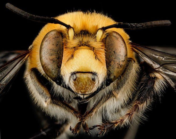 """~ männliche """"Anthophora affabilis"""",gefunden im Pennington County,South Dakota.© Native Bee Inventory and Monitoring Lab, U.S. Geological Survey"""