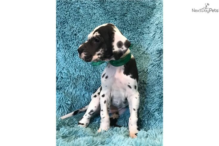 Great Dane Puppies For Sale In Joplin Mo What To Do When