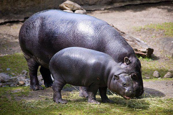 hipopotamo pigmeo gracioso wallpapers - Buscar con Google