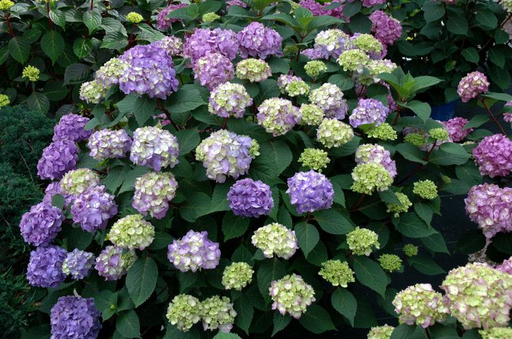 Contrary to popular belief, you can't change a hydrangea's flowers blue if it's not a specific kind. Only some bigleaf (Hydrangea macrophylla) and mountain (Hydrangea serrata) types can change colors according to soil chemistry and the presence of aluminum, says Hirvela. Burying rusty nails, banana peels, coffee grounds, and whatever other old gardener's tales you've heard won't change bloom color if it's not the that type of hydrangea in the first place. Try these...
