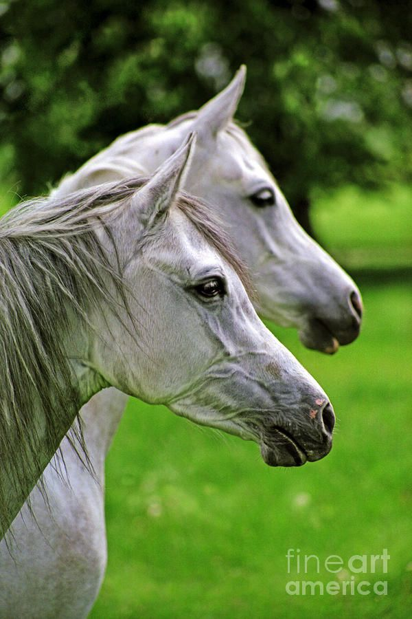 """Gray Arabians-People who are unfamiliar with horses may refer to gray horses as """"white."""" However, a gray horse whose hair coat is completely """"white"""" will still have black skin (except under markings that were white at birth) and dark eyes. This is how to discern a gray horse from a white horse. White horses usually have pink skin and sometimes even have blue eyes."""