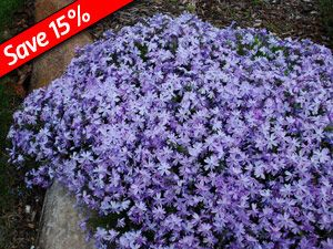 Creeping Phlox Emerald Blue Drought Tolerant Groundcover